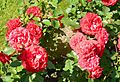 Red Rose flowers 10.jpg