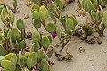 Red Sand Verbena - Abronia maritima (29060736668).jpg
