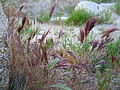 Red brome (Bromus madriensis rubens); Hidden Valley.jpg