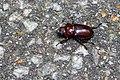 Reddish-brown stag beetle (42884334824).jpg