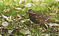 Redwing and Leaves (3256342109).jpg