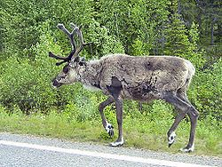 Reindeer at the roadside.jpg