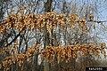 Reynoutria japonica fruit (11).jpg