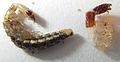 Rhaphidioptera-pupa&exuvium.jpg