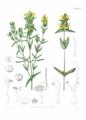 Rhinanthus minor (Icones Florae Germanicae et Helveticae 1862, v20, plate 1738, BHL-29363) clean.png