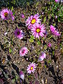 Rhodanthe manglesii 'timeless rose' 2007-06-02 (plant).jpg
