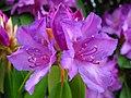 Rhododendron-wv-1 ForestWander.jpg