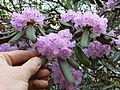Rhododendron desquamatum (5557137862).jpg