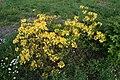 Rhododendron luteum in Botanical garden, Minsk.jpg