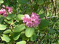 Rhododendron orbiculare.jpg