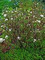 Rhododendron tomentosum 001.JPG
