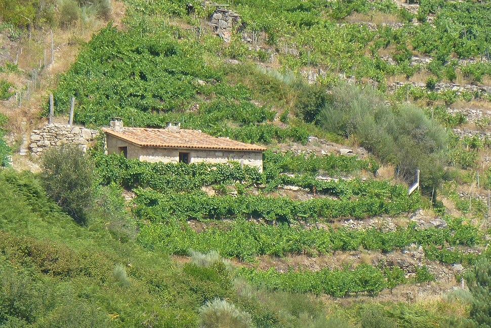 Ribeira Sacra, viñedos 2