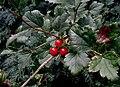 Ribes-alpinum.JPG