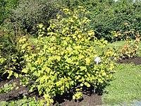 Ribes dikuscha - Botanical Garden in Kaisaniemi, Helsinki - DSC03506.JPG