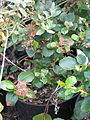 Ribes viburnifolius (16822022986).jpg