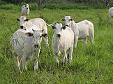Belches after enteric fermentation contain methane, and manure management may emit methane and nitrous oxide