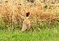 Ring-necked pheasant on Sand Lake National Wildlife Refuge (14694043953).jpg
