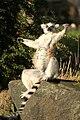 Ring tailed lemur edin zoo.JPG