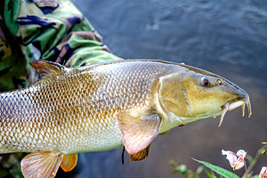Common barbel - A specimen barbel from the River Wye, England.