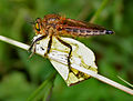 Robber Fly with a Grass Yellow W IMG 2660.jpg