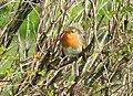 Robin (33656480456).jpg