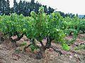 Rochefort du Gard - Vignes 5.jpg