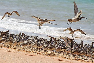 Wader - Waders roosting on the beach at high tide