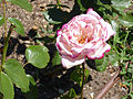 Rosa 'Condesa de Mayalde' P. Dot 1956 RPO1.jpg