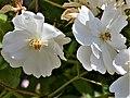 "Rosa ""Guirlande d'Amour"" o LENalbi. 03.jpg"