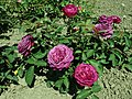 Rosa Heidi Klum Rose 2019-06-05 7605.jpg