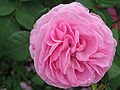 Rosa Louise Odier 01.jpg