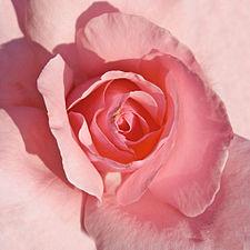 Rosa The Queen Elisabeth - Polyantha 02.jpg
