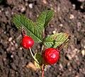 Rosa majalis fruit (03).jpg