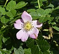 Rosa rubiginosa inflorescence (18).jpg