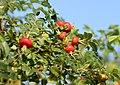 Rosa rugosa fruit (27).jpg