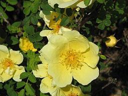 Rosa xanthina canario01