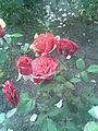 Rosales - Rosa cultivars 3 - 2011.07.11.jpg