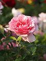 Rose, Penthouse, バラ, ペントハウス, (10485740204).jpg