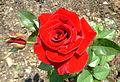Rose (in dadiani palace garden).jpg
