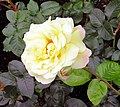 Rose Gloria Dei.jpg