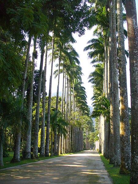 File:Roystonea oleracea en J B de Río de Janeiro.jpg