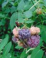 Rubus 'Wyoming'.jpg