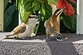 Rufous-naped Wrens (Juvenile and Adult) (31573823417).jpg