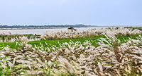 Saccharum spontaneum at the bank of rever Ganges 07102013.jpg