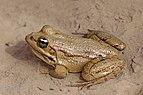 Sahara frog (Pelophylax saharicus) 2.jpg