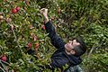Sailors pick apples for North Whidbey Help House 160923-N-WQ574-051.jpg
