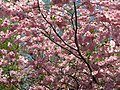 Saint Petersburg. Chinese Garden. Sakura tree2021 09.jpg