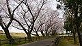 Sakura - panoramio (7).jpg