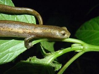 <i>Bolitoglossa mombachoensis</i> species of amphibian