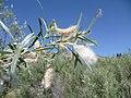 Salix exigua var. exigua 6.jpg